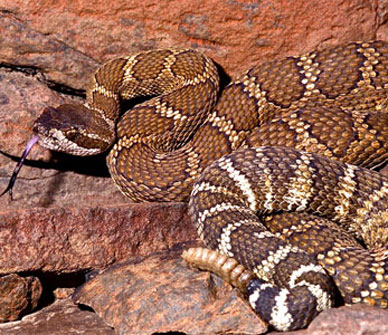 How Dangerous Are Rattlesnakes Deschutes Land Trust,Types Of Cacti With Pictures
