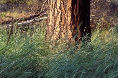 Ponderosa pine at Camp Polk Meadow Preserve. Photo: Lana Young.