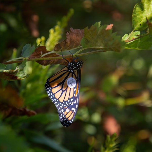 Monarch butterfly at Camp Polk Meadow Preserve. Photo: Jay Mather.