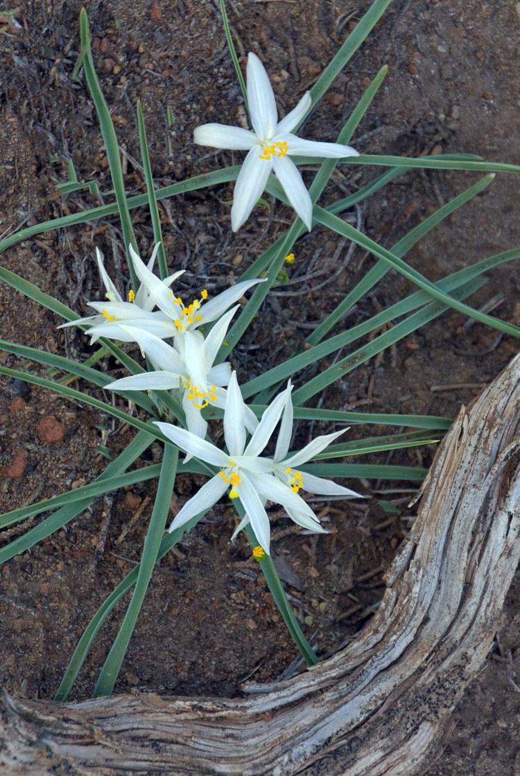 Sand lilies. Photo: Darlene Ashley.