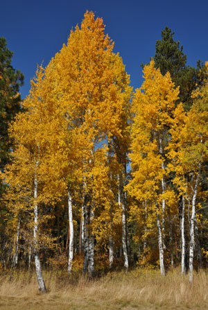 Aspen in the fall. Photo: Byron Dudley.