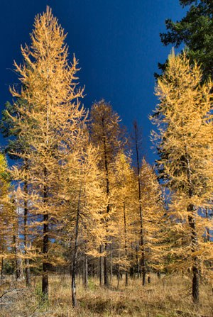 Western larch in the fall. Photo: Jay Mather.