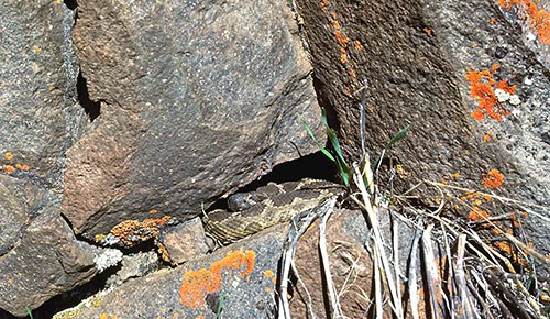 Northern Pacific Rattlesnake emerging from its den. Photo: Alan St. John.