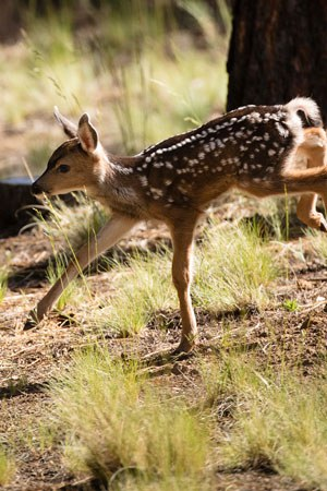 A young mule deer. Photo: Tyler Roemer.