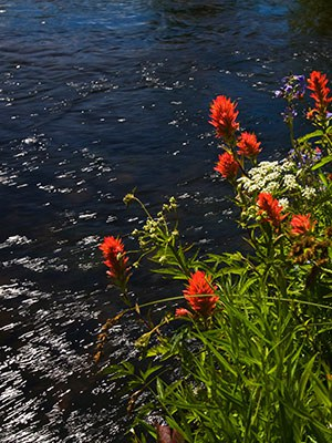 Paintbrush blooms along Spring Creek. Photo: Jay Mather.