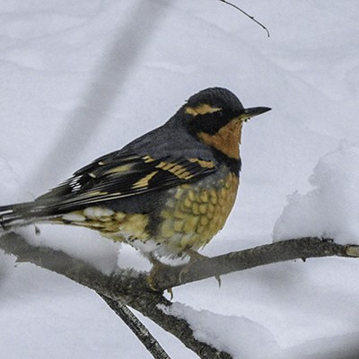 A varied thrush at Camp Polk Meadow Preserve. Photo: Kris Kristovich.