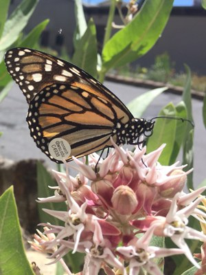 A monarch butterfly on a milkweed plant. Photo: Land Trust.