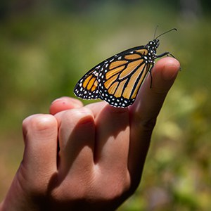 A monarch butterfly. Photo: Jay Mather.
