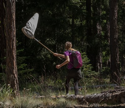 Butterfly netting at the Metolius Preserve. Photo: John Williams.