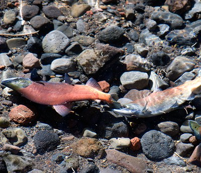 Sockeye in spawning colors. Photo: Brian Ouimette.