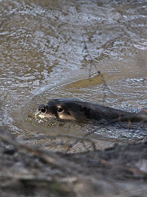 An otter swims in Whychus Creek. Photo: Jake Schas.