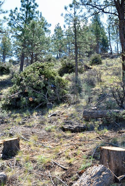 Forest restoration work at Whychus Canyon Preserve. Photo: Lisa Bagwell.