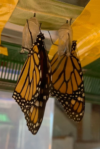 Monarch butterflies after emerging from their chrysalides. Photo: Land Trust.