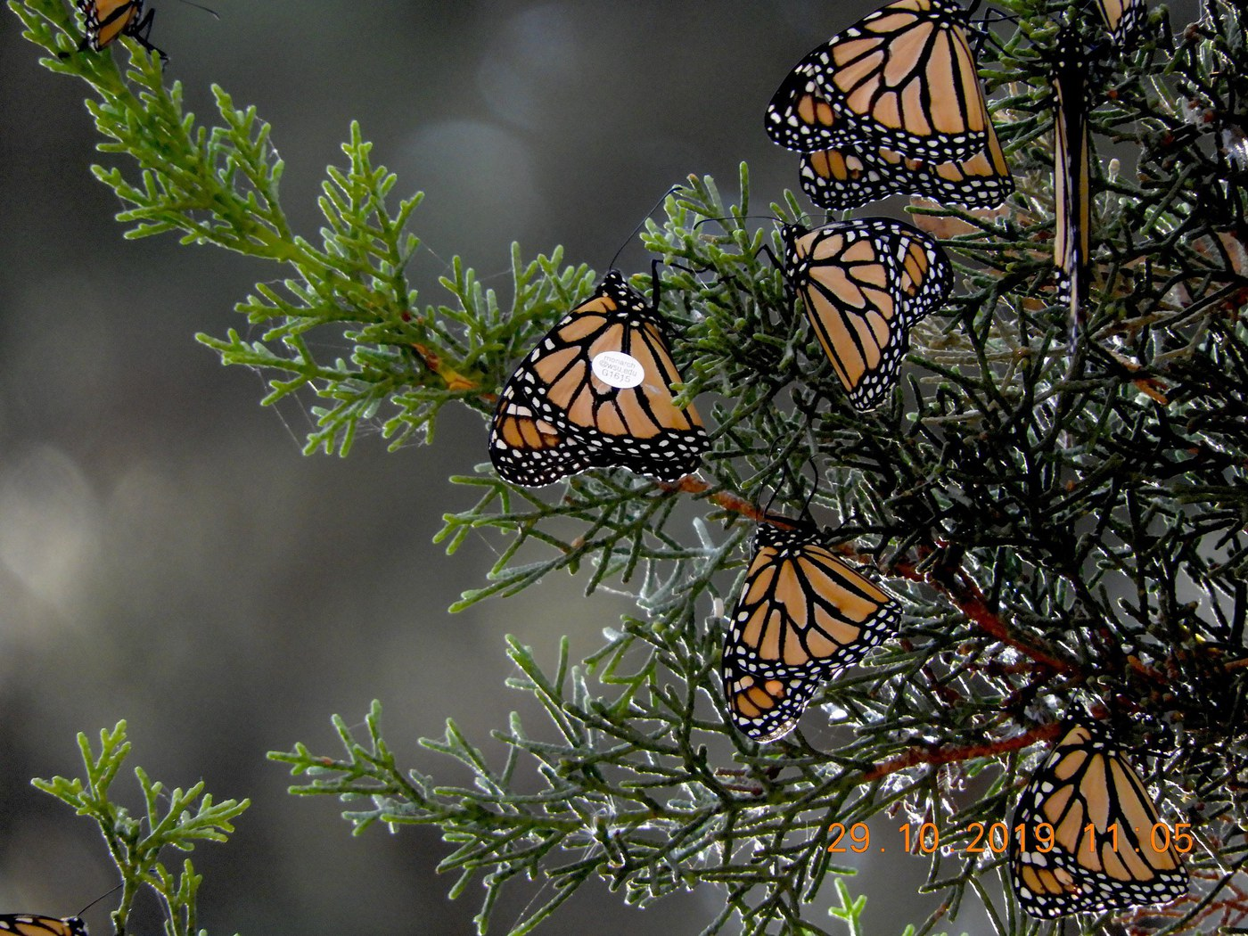 Monarch G1615, better known as 'Flamingo,' was spotted at overwintering grounds in Santa Cruz, California. Photo: John Dayton.