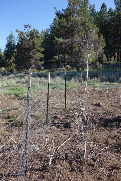 Young aspen trees are protected with fencing at Camp Polk Meadow Preserve. Photo: Land Trust.