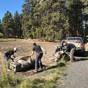 Volunteers roll up plastic sheeting from soil solarization. Photo: Land Trust.