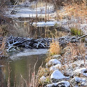 One of the beaver dams at Camp Polk Meadow Preserve. Photo: Kris Kristovich.