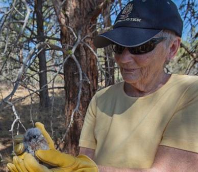 Pat Kearney helping band a baby kestrel at Whychus Canyon Preserve. Photo: Jay Mather.