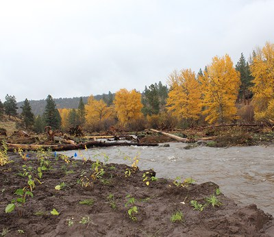 New plants and colorful cottonwoods. Photo: Land Trust.