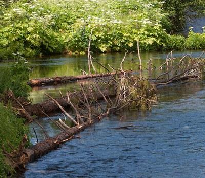 Large woody debris in Spring Creek. Photo: Jay Mather.