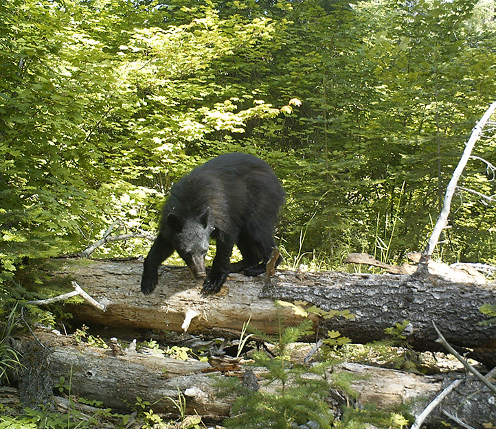 A black bear on the move. Photo: Land Trust.