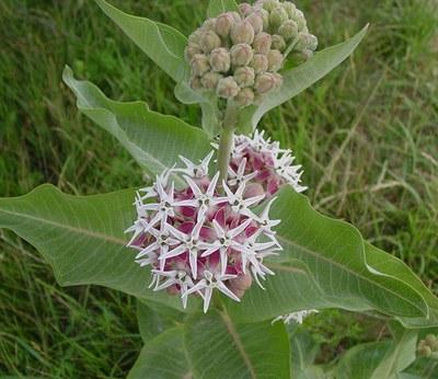 Showy milkweed. Photo: Mary Ann Newcomer.