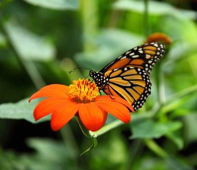 The beautful monarch butterfly.