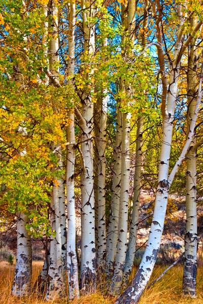 Golden aspens. Photo: Tom Davis.