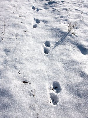 Coyote tracks in the snow. Photo: Brian Ouimette.