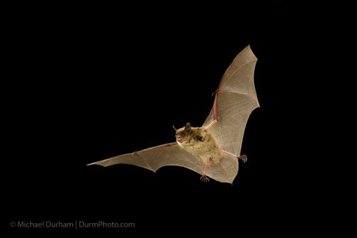Little brown bat. Photo: Michael Durham.
