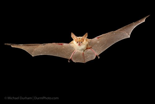 Pallid bat. Photo: Michael Durham.