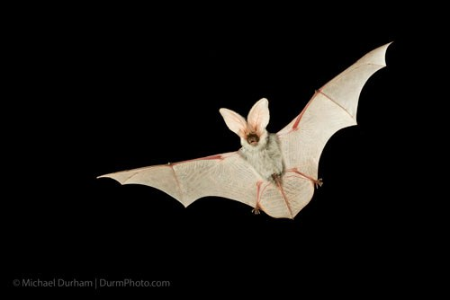Spotted Bat. Photo: Michael Durham.