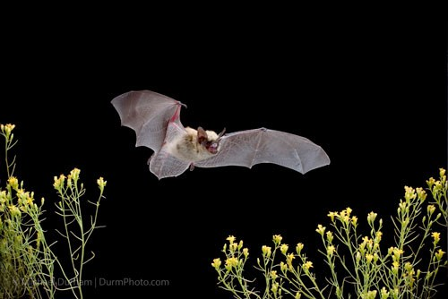 Canyon bat. Photo: Michael Durham.