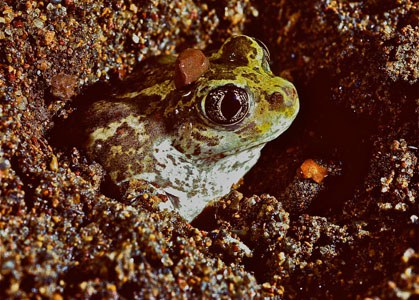 A Great Basin spadefoot emerging from the sand after a rainstrom. Photo: Al St. John.