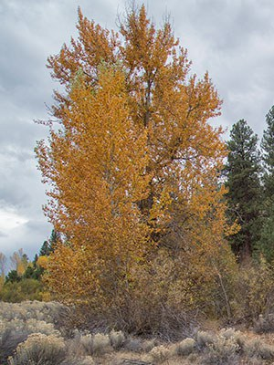 Cottonwood trees like this one abound at Willow Springs Preserve. Photo: Jay Mather.