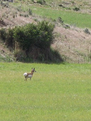 Antelope at Coffer Ranch. Photo: Land Trust.