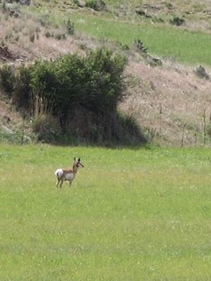 Antelope at Bella Ranch. Photo: Land Trust.