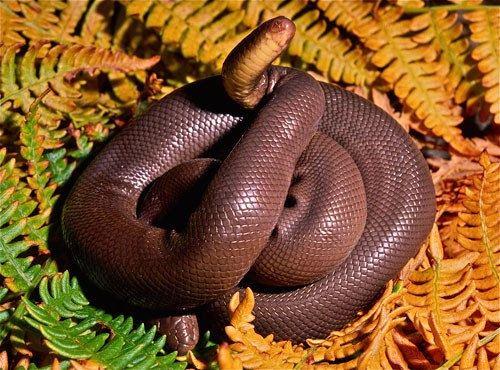 A rubber Boa displaying its blunt tail as a fake head. Photo: Alan St. John.