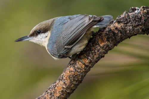 A pygmy nuthatch. Photo: Kris Kristovich.