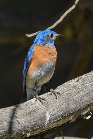 A Western Bluebird after migrating north to Central Oregon for the summer. Photo: Kris Kristovich.