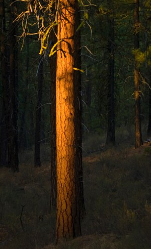 Ponderosa pine in the evening light. Photo: Jay Mather.