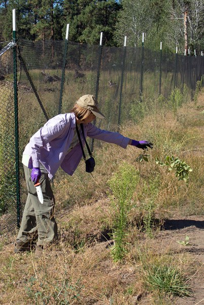 A Greens-at-Work volunteer helps pull invasive plants. Photo: Jay Mather