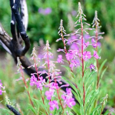 Fireweed. Photo: Malcolm Lowery.