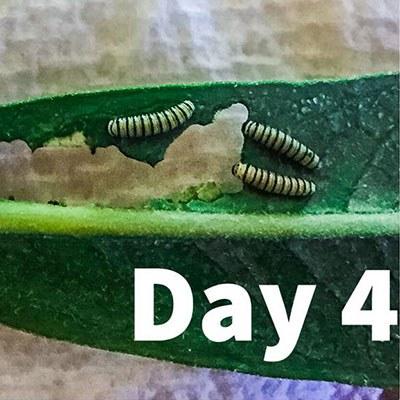Hungry caterpillars keep growing. Photo: Amanda Egertson.