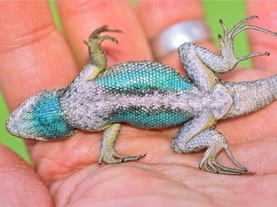 A calm male Western Fence Lizard shows his blue belly. Photo: Al St. John