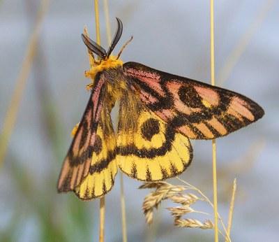 An elegant day moth. Photo: Sue Anderson