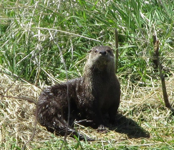 A Northern river otter on a Land Trust Preserve. Photo: Land Trust.