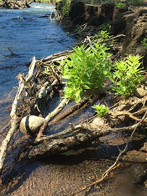 Cottonwoods sprout from roots along the banks of Whychus Creek. Photo: Land Trust.