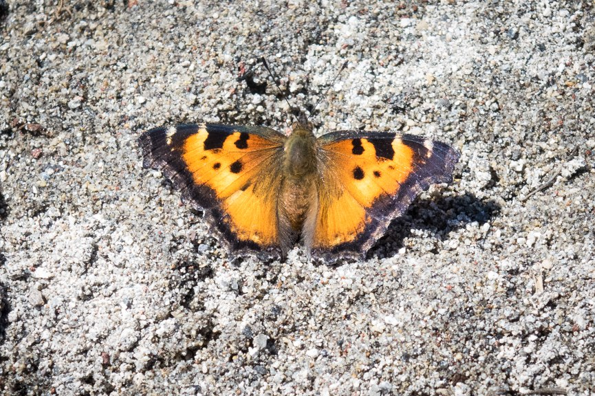 California Tortoiseshell butterfly with wings spread wide. Photo: Sue Anderson
