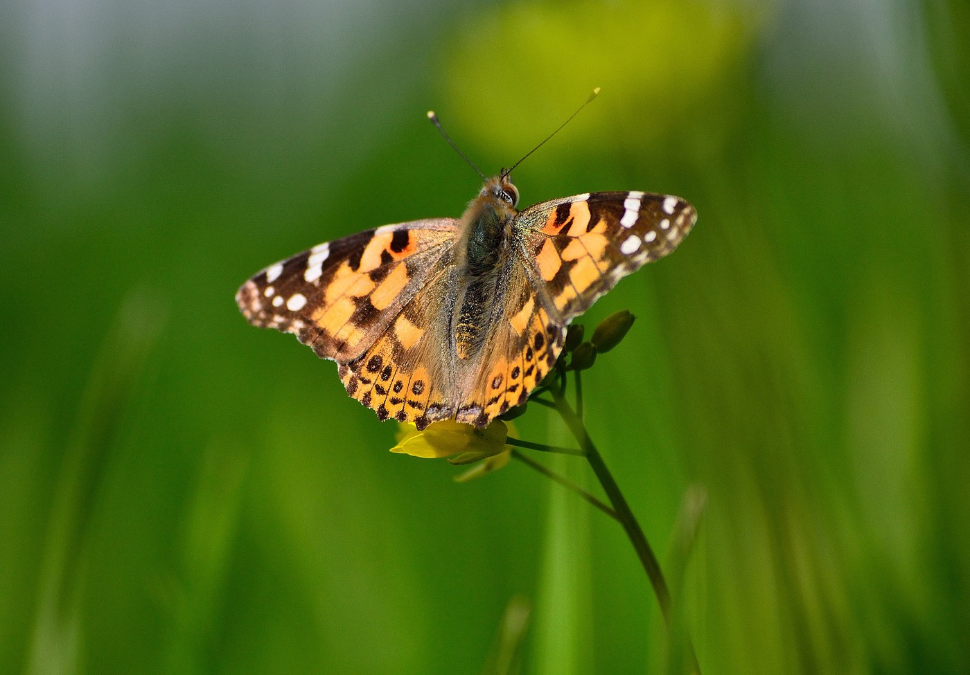 Painted Lady Butterfly. Photo: Pixabay